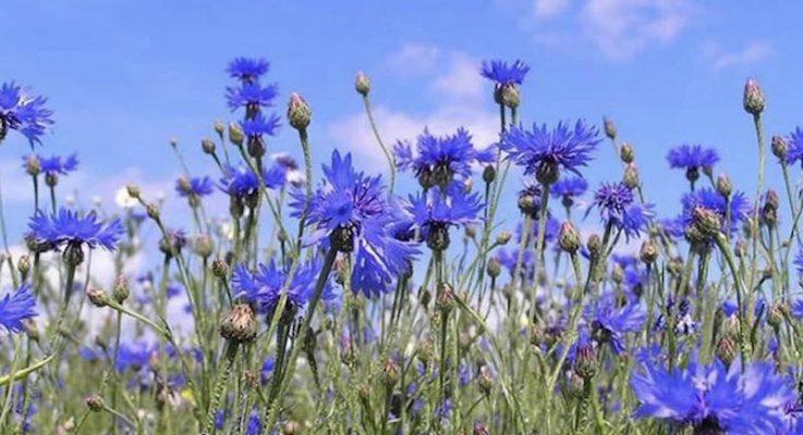 Peygamber Çiçekleri